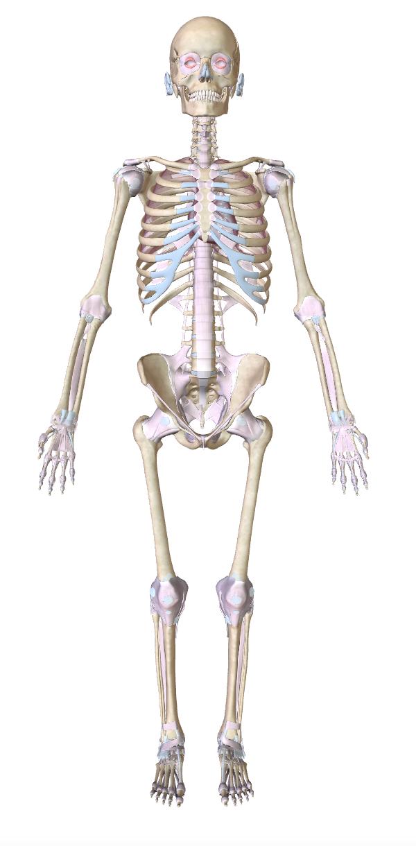 smusculoesqueletico1