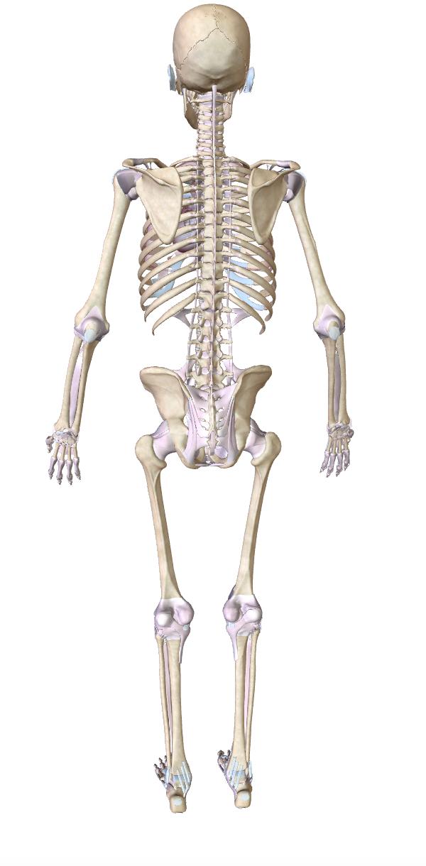 smusculoesqueletico2