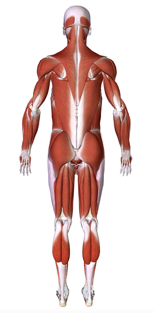 smusculoesqueletico4